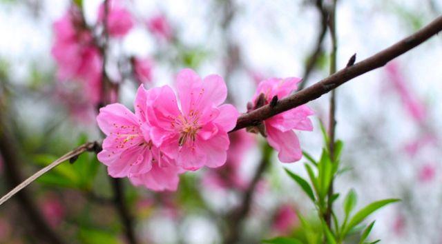 hoa đào tết.jpg